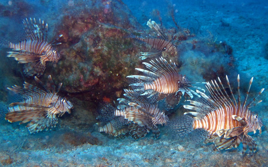 Know thy enemy: Behavioural study approach to manage and reduce invasive lionfish populations in the Eastern Mediterranean
